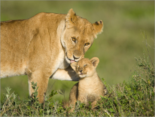 Plakat Lion mother with cub