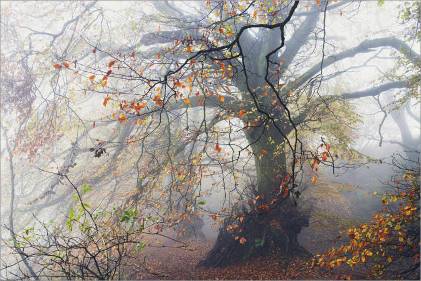 Plakat Big beech tree with autumn colors in the fog in England