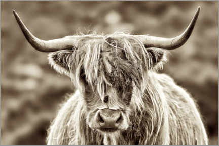Aluminiumsbilde  Face to face with the highland cattle - Angela to Roxel