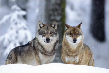 Plakat  Wolves in the snow - age fotostock