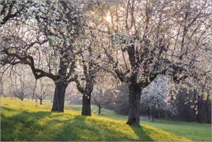 Akrylbilde  Blossoming cherry trees in the light of the rising sun - The Wandering Soul
