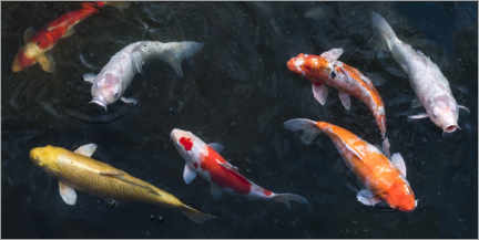 Galleriprint  Colorful koi carp in the pond - Jan Christopher Becke