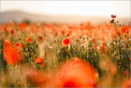 Plakat Field of poppies in the sunset