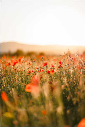 Plakat Field of poppies in the sunrise