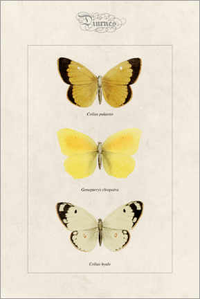 Akrylbilde  Moorland clouded yellow, cleopatra and pale clouded yellow - Alexis Nicolas Noel