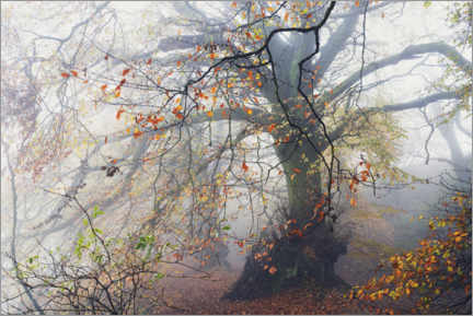 Galleriprint  Big beech tree with autumn colors in the fog in England - The Wandering Soul