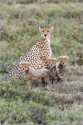 Aluminiumsbilde  Cheetah mother with cubs - Jaynes Gallery
