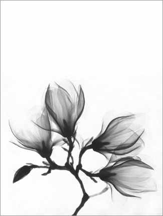 Akrylbilde  X-ray image of a magnolia - Wunderkammer Collection