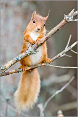 Galleriprint  Red squirrel on a branch - Duncan Shaw