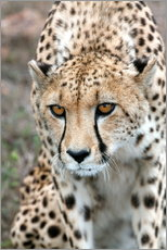 Galleriprint  Cheetah on foray, South Africa - Fiona Ayerst