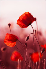 Galleriprint  Poppies at sunset