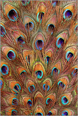 Galleriprint  Peacock feathers bronze