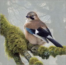 Galleriprint  Eurasian Jay sits on a mossy branch - Ikon Images