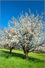 Plakat Blossoming cherry trees on the field