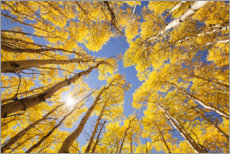 Selvklebende plakat  Autumn-colored aspen forests of Colorado - The Wandering Soul
