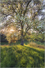 Aluminiumsbilde  Blossoming pear tree in the sunset light - The Wandering Soul