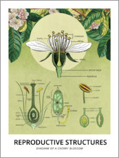 Plakat  Anatomy of a cherry blossom (English) - Wunderkammer Collection