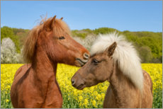 Plakat Icelandic horses cuddle in a spring meadow