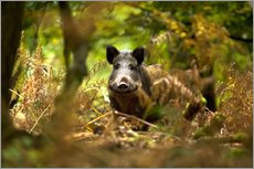 Galleriprint  Boar in the deciduous forest - David Slater