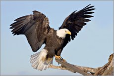 Selvklebende plakat  Eagle with outstretched wings - Charles Sleicher