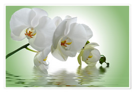 Plakat  Orchid with Reflection - Atteloi