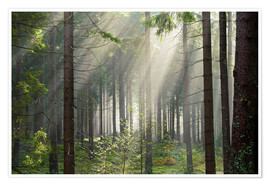 Plakat Sun rays in the forest