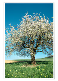 Plakat Blossoming cherry tree in spring on green field with blue sky