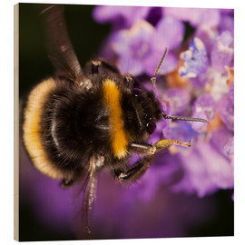 Trebilde  Bumble bee collecting pollen - Power and Syred