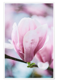 Plakat Closeup of blossoming magnolia in spring