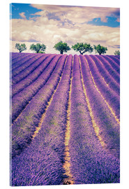 Akrylbilde  Lavender field with trees in Provence, France