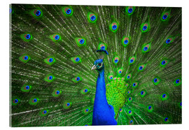Akrylbilde  beautiful peacock with feathers