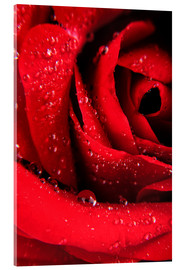 Akrylbilde  Red rose with water drops