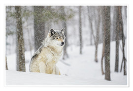 Plakat  philosophical wolf - Dominic Marcoux