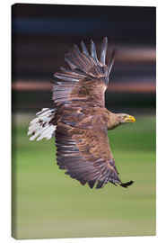 Lerretsbilde  Flying white-tailed eagle - Frank Fischbach