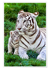 Plakat  White tiger mother with child - Gérard Lacz