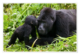 Plakat  Infant mountain gorilla with mother