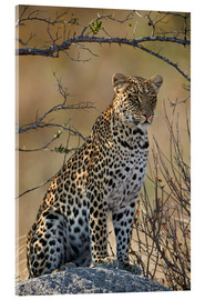 Akrylbilde  Leopard perched on its rock - James Hager